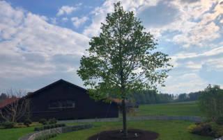 Grossbaumpflanzung