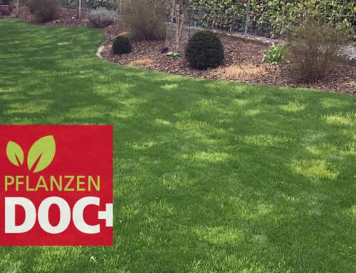 Fremdgräser im Rasen: das Rispengras