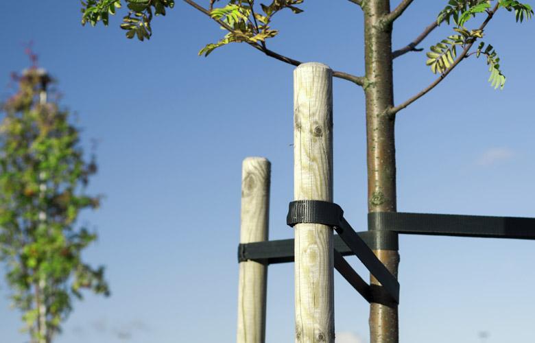 Baumbefestigung an zwei Pfählen
