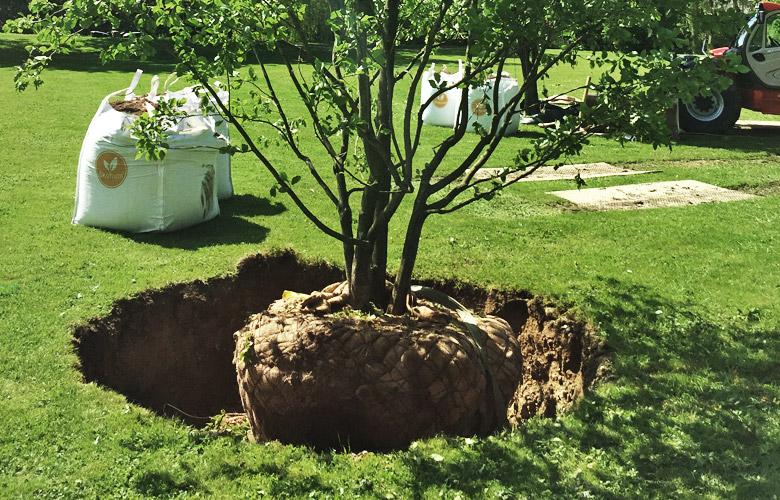 Der Baum wird mit Ballentuch gepflanzt