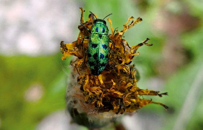 Der Grüne Wacholder Prachtkäfer