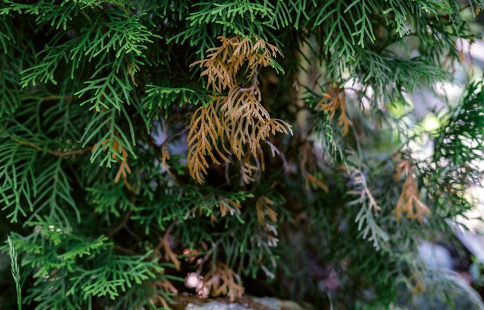 Braun-gelbe Zweige zeigen Schäden an der Thuja
