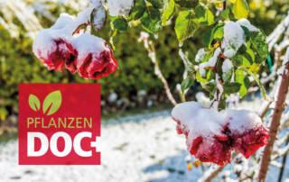 Rosen unter Schnee