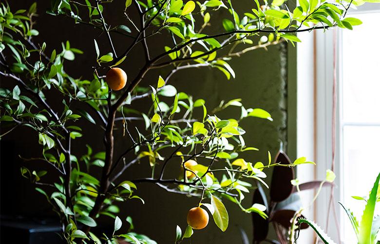 Ein Zitrusbaum an einem sonnigen Fenster in einem Innenraum.