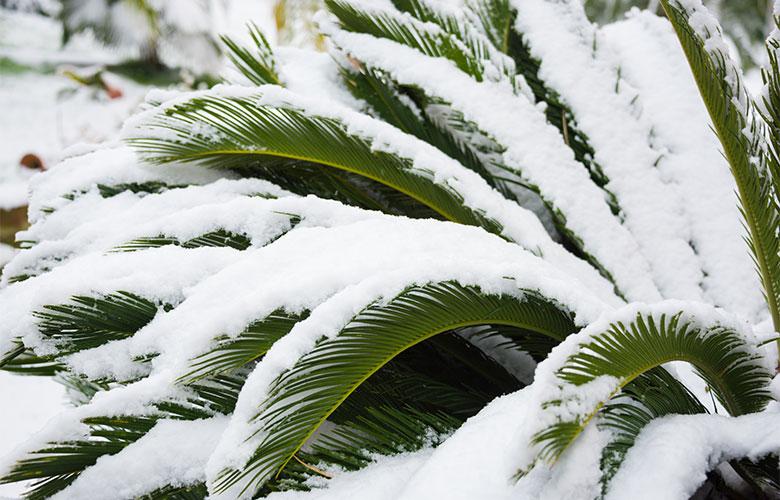 Eine Palme unter Schnee