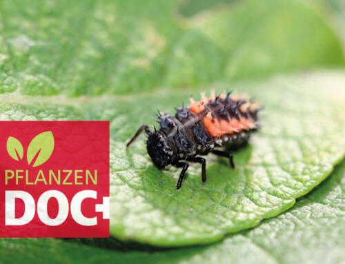Die Larve des Marienkäfers – Nützling oder Schädling?